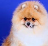 Cane dello Spitz su un ritratto blu del primo piano del fondo Immagine Stock Libera da Diritti
