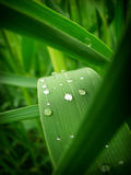 Cane with dew drops Stock Photo