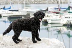 Cane di acqua portoghese Fotografia Stock