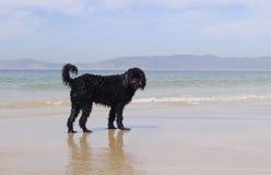 Cane di acqua portoghese bagnato fotografia stock libera da diritti