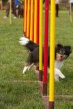 Cane di agilità Fotografia Stock Libera da Diritti