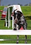 Cane di agilità sulla tabella di pausa fotografia stock