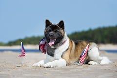 Cane di akita dell'americano che si riposa su una spiaggia con le bandiere Fotografia Stock