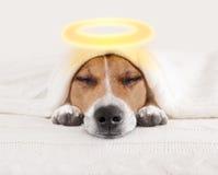 Cane di alone di angelo di sonno a letto fotografia stock libera da diritti