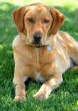 Cane di animale domestico Fotografie Stock Libere da Diritti