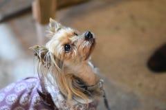 Cane di animale domestico Fotografia Stock Libera da Diritti