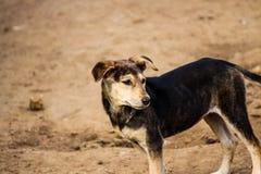Cane di animale domestico Immagine Stock