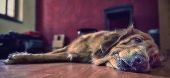 Cane di animale domestico che riposa sul pavimento Fotografia Stock