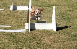 Cane di animale domestico che salta sopra il corso di agilità Fotografie Stock Libere da Diritti