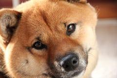 Cane di animale domestico di Shiba-Inu Fotografie Stock