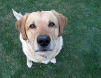 Cane di animale domestico dorato del retriver Fotografia Stock Libera da Diritti
