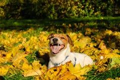 Cane di animale domestico felice di Jack Russell Terrier in foglie di autunno Fotografie Stock Libere da Diritti