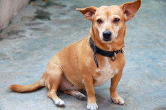 Cane di animale domestico schietto Fotografia Stock