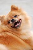 Cane di animale domestico sveglio Immagine Stock