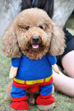 Cane di barboncino in vestiti fotografia stock libera da diritti