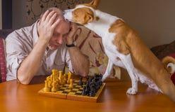 Cane di Basenji che lecca disperatamente il suo oppositore durante il torneo della famiglia di scacchi immagine stock libera da diritti
