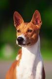 Cane di Basenji fuori su erba verde Fotografie Stock Libere da Diritti