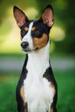 Cane di Basenji fuori su erba verde Fotografia Stock