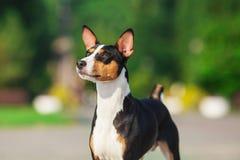 Cane di Basenji fuori su erba verde Immagini Stock Libere da Diritti