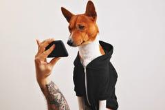 Cane di Basenji in maglia con cappuccio con lo smartphone Immagine Stock