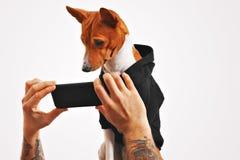 Cane di Basenji in maglia con cappuccio con lo smartphone Fotografia Stock Libera da Diritti