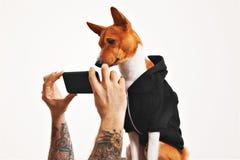 Cane di Basenji in maglia con cappuccio con lo smartphone fotografia stock