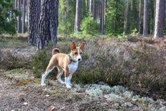 Cane di Basenji nel legno in primavera immagine stock libera da diritti