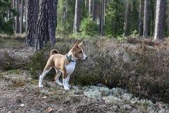 Cane di Basenji nel legno in primavera immagine stock