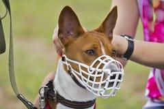 Cane di Basenji in una museruola per scorrere Immagine Stock