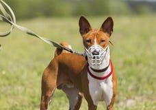 Cane di Basenji in una museruola per scorrere Immagini Stock