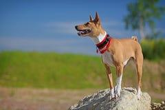 Cane di Basenjis Immagini Stock Libere da Diritti