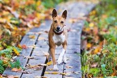 Cane di Basenjis Immagini Stock