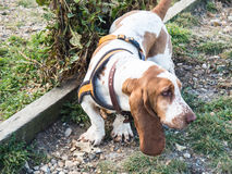 Cane di Basset Hound fotografia stock libera da diritti