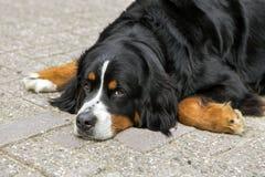 Cane di Bernese fotografie stock libere da diritti