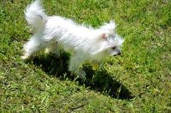Cane di bianco di Smal Fotografie Stock