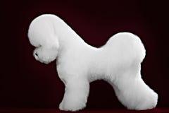 Cane di Bichon Frise in uno studio scuro fotografia stock libera da diritti