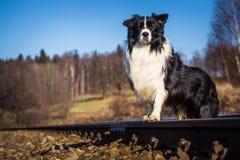 Cane di border collie Fotografia Stock
