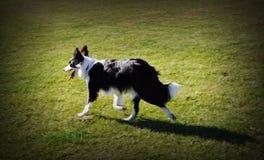 Cane di border collie che cammina nel pascolo Immagini Stock