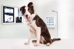 Cane di border collie in una clinica veterinaria immagine stock