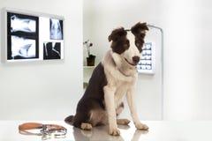 Cane di border collie in una clinica veterinaria fotografia stock