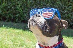 Cane di Boston Terrier che sembra sveglio in occhiali da sole della bandiera di stelle e strisce Fotografia Stock