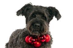 Cane di Bouvier con le palle di Natale immagini stock libere da diritti