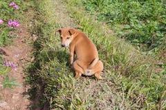 Cane di Brown che orina in un giardino Immagini Stock Libere da Diritti
