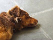 Cane di Brown che riposa e che pensa Fotografie Stock Libere da Diritti