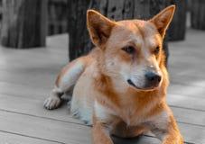 Cane di Brown che si siede su un patio di legno Immagini Stock Libere da Diritti
