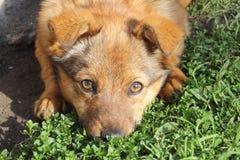 Cane di Brown con il muso nell'erba Immagine Stock