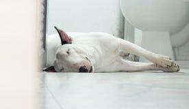 Cane di bull terrier che dorme nel bagno Immagini Stock
