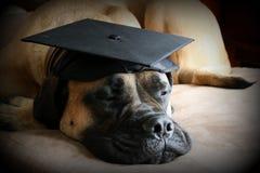 Cane di Bullmastiff che indossa un cappuccio nero di graduazione Immagine Stock
