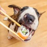 Cane di Bullterrier che mangia il rotolo di sushi dal bastoncino, basso di DOF Immagini Stock