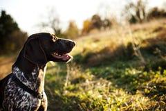 Cane di caccia Immagini Stock Libere da Diritti